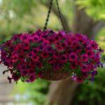 Petunia Curgatoare 5