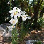 Floare Crinul Alb 3