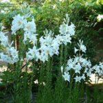 Floare Crinul Alb 4