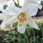 Floare Crinul Alb 5