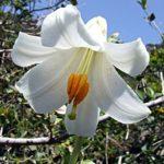 Floare Crinul Alb 6