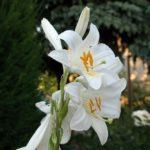 Floare Crinul Alb 7