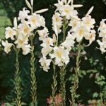 Floare Crinul Alb 8