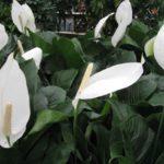 Flori Crinul Pacii 8