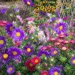 Flori Ochiul Boului 3