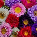 Flori Ochiul Boului 4
