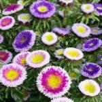 Flori Ochiul Boului 5