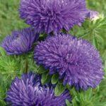Flori Ochiul Boului 6