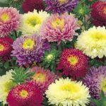 Flori Ochiul Boului 7