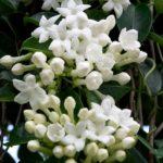Iasomie de Madagascar 4
