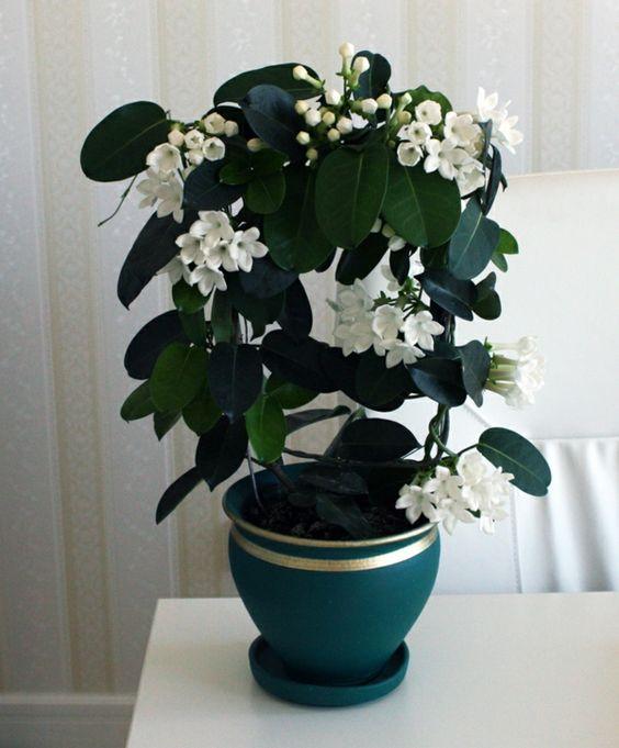 Iasomie de madagascar ingrijire poze for Zimmerpflanzen wohnzimmer